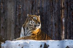 Amur or Ussuri tiger, in winter or the far Eastern tiger is the northernmost. Listed in the Red book. Amur or Ussuri tiger, in winter or the far Eastern tiger is Stock Photo