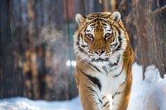 Amur or Ussuri tiger, in winter or the far Eastern tiger is the northernmost. Listed in the Red book. Amur or Ussuri tiger, in winter or the far Eastern tiger is Royalty Free Stock Photo
