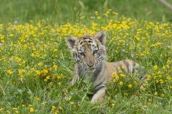 Amur & x28 Siberian& x29  γατάκι τιγρών που βάζει στα κίτρινα και πράσινα λουλούδια Στοκ Φωτογραφίες