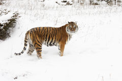 Amur (Siberian) tiger  deep snow, profile view Royalty Free Stock Images