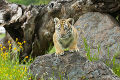 Amur (Siberian) tiger kitten climbing rocks with yellow and gree Royalty Free Stock Images