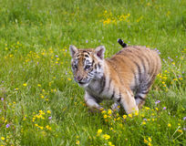 Amur (Siberian) tiger kitten playing and running in yellow and g Stock Image