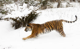 Amur (Siberian) tiger running in deep snow parallel to viewer Stock Image
