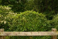 Amure Peppervine royalty-vrije stock fotografie