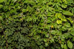 Amure Peppervine. Out competing native species of plants in Greenwich Connecticut stock images
