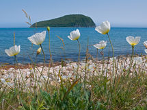 Amure Poppy 1. A close-up of the flowers of amure poppy (Papaver amurense) on coast of Japanese sea. On background is small island. Russian sousern Far East Royalty Free Stock Photos