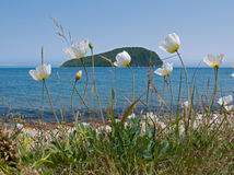 Amure Poppy 2. A close-up of the flowers of amure poppy (Papaver amurense) on coast of Japanese sea. On background is small island. Russian sousern Far East Royalty Free Stock Photo