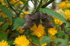 Amurensis Laothoe Στοκ Φωτογραφίες