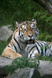 Amurtiger. Siberian tiger in a zoo Royalty Free Stock Images