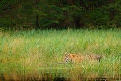Amurtijger die in het gras van het rivierwater lopen Gevaarsdier, taiga, Rusland Dierlijke groene bosstroom Het Siberische water  stock afbeeldingen