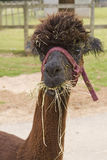 Amused Alpaca. Alpaca appearing to smile whilst chewing hay stock photo
