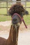 Amused Alpaca Stock Photo