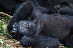 Amused mountain gorilla. Mountain gorilla lying down with her hand on her head looking amused. Member of the Nkuringo family stock images