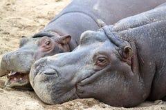 Amusement d'hippopotame Image stock