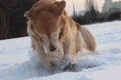 Amusement de golden retriever Photographie stock