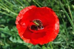Amusement vert de grig sur le nectar d'un pavot rouge Photographie stock