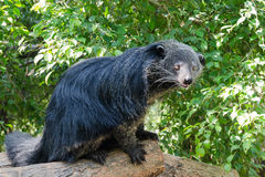 Amusing animal - binturong Stock Photography