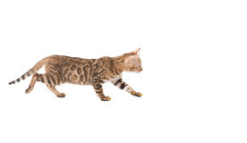 Amusing Bengal kitten, isolated on white backdrop Stock Photos