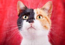 Amusing Calico Cat Stock Images