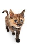 Amusing cat. Amusing small kitty on white background royalty free stock photos