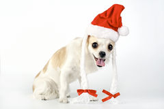 Amusing Chihuahua dog with Santa hat Stock Photo