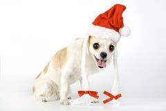 Amusing Chihuahua dog with Santa hat Stock Photo