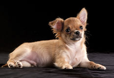Amusing chihuahua puppy Stock Photos
