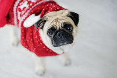Amusing doggie of breed pug in a reindeer suit. Stock Photos