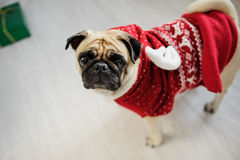Amusing doggie of breed pug in a reindeer suit. Royalty Free Stock Photo
