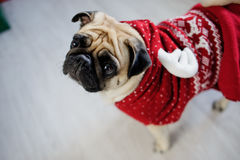 Amusing doggie of breed pug in a reindeer suit. Stock Photo