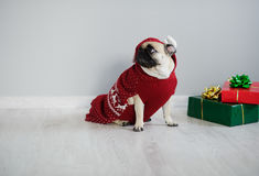 The amusing doggy of breed pug is dressed by a holiday in reindeer suit. Stock Photo