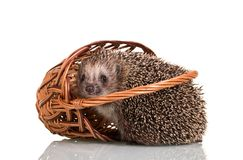 Amusing gray hedgehog fell out of the wicker basket, isolated on white. Background Stock Image