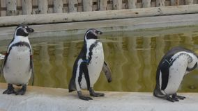 Stand, shake and shuffle! Humboltd penguins parading by a pool stock video