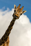 Amusing image of a Giraffe sticking its tongue out Stock Photo