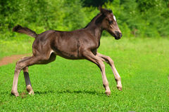 Amusing kid foal. The amusing kid a foal cheerfully skips on a green lawn Royalty Free Stock Images