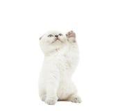Amusing kitten catches Stock Photography