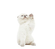 Amusing kitten Stock Photography