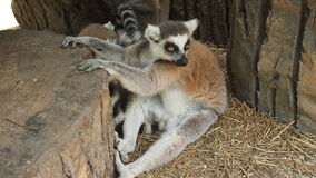 These amusing lemurs. Lemur sits and looks closely who came to him Stock Photos