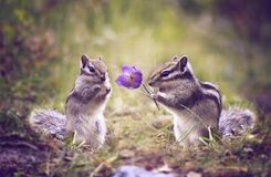 Free Amusing Meeting Of Two Darlings Chipmunk Royalty Free Stock Photo - 211829025