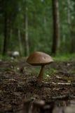 Amusing mushroom. Rough-stemmed bolete of amusing form Stock Images
