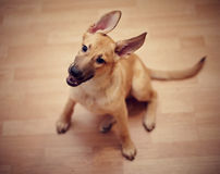 Amusing not purebred puppy. Mongrel puppy. Puppy of beige color royalty free stock photos