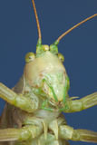 Amusing portrait of a green grasshopper Stock Photo
