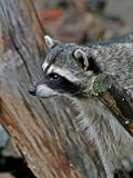 Amusing  raccoon. Amusing thick raccoon on a wood branch Royalty Free Stock Photo