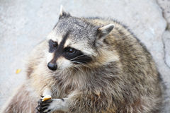Amusing raccoon Royalty Free Stock Images