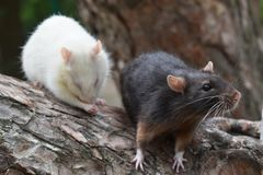 Amusing rats. Sit on a pine-tree royalty free stock photos