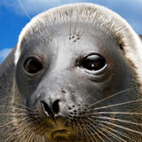Amusing seal. The square form stock photography