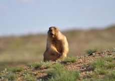 The amusing singing groundhog. Young and amusing groundhog in the wild nature royalty free stock photos