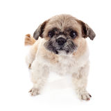 Amusing small doggie of breed of a shih-tzu Royalty Free Stock Photo