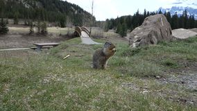 An amusing squirrel at banff national park stock footage
