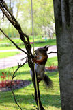 Amusing squirrel. Here such amusing squirrels run in Pushkin. Gnaw ropes. Eat from hands of people and many other things Stock Image